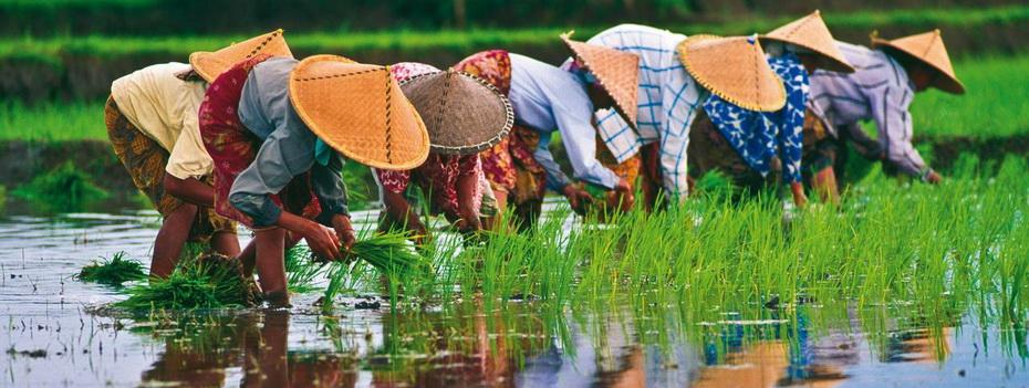 1477101872_rice-paddies-vietnam-192533-0.jpg