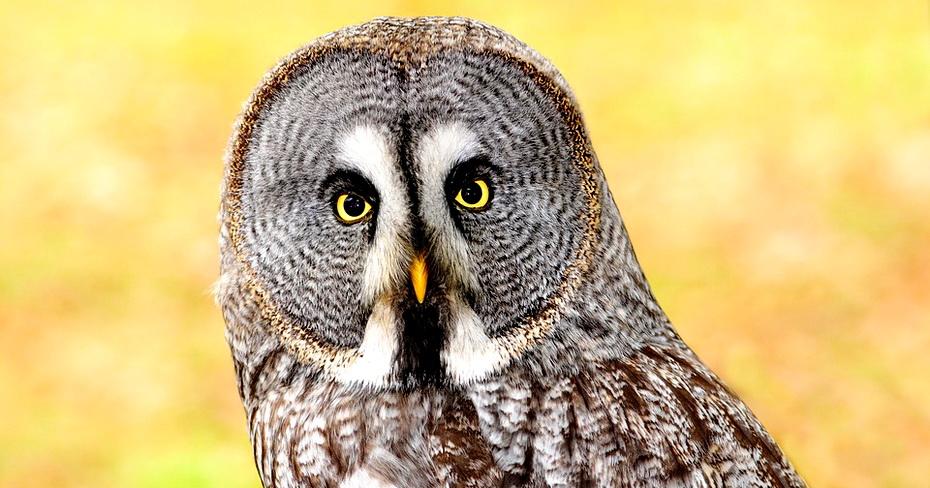 lapland-owl-2010358_960_720.jpg