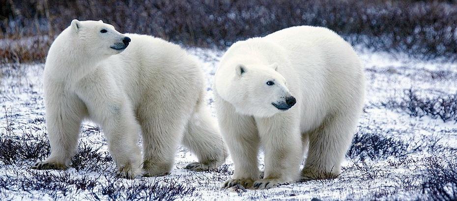 polar-bears-1665367_960_720.jpg